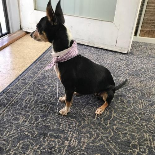 #Rescue me! I\'m Tinker Bell, an adult female #Chihuahua/#RatTerrier mix. #nkla #dogs #love