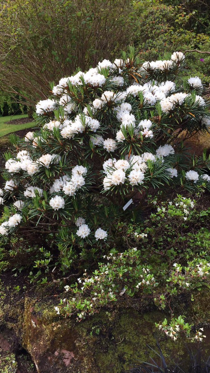 Mount stuart gardens on twitter some beautiful shrubs and flowers mount stuart gardens on twitter some beautiful shrubs and flowers out in the rock garden with amazing colours to see izmirmasajfo