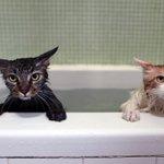 かわいすぎるwお風呂に落ちたくせにクールな表情のネコたち