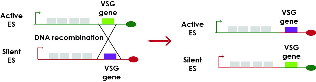 A VSG located in a silent ES can be translocated to the active ES https://t.co/W3oJf1iN4c