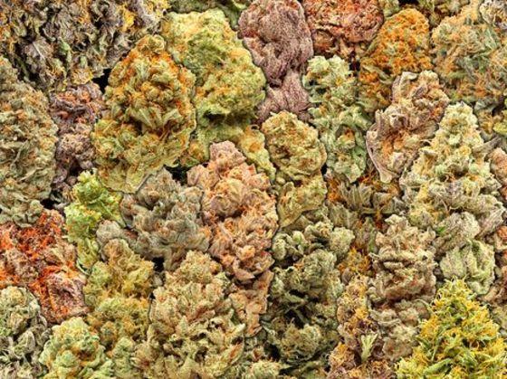 Quiz: Which Cannabis Strain Should I Grow – High Times
