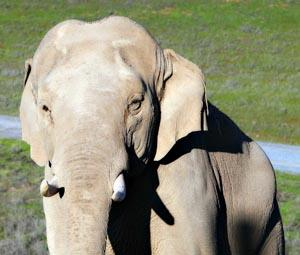 Bull elephant Prince turns 30 this month!