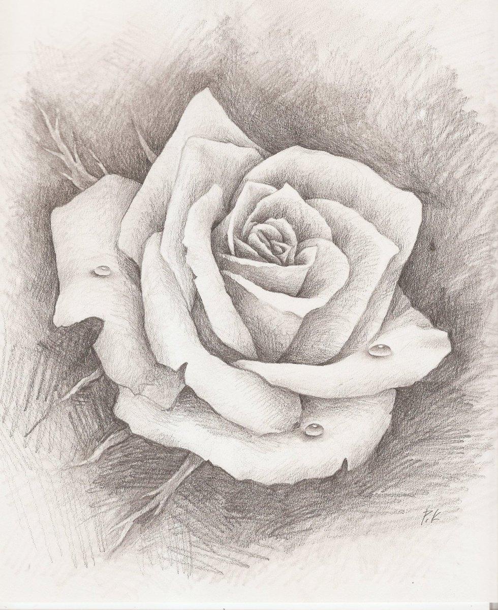 drawings of roses - HD836×1024