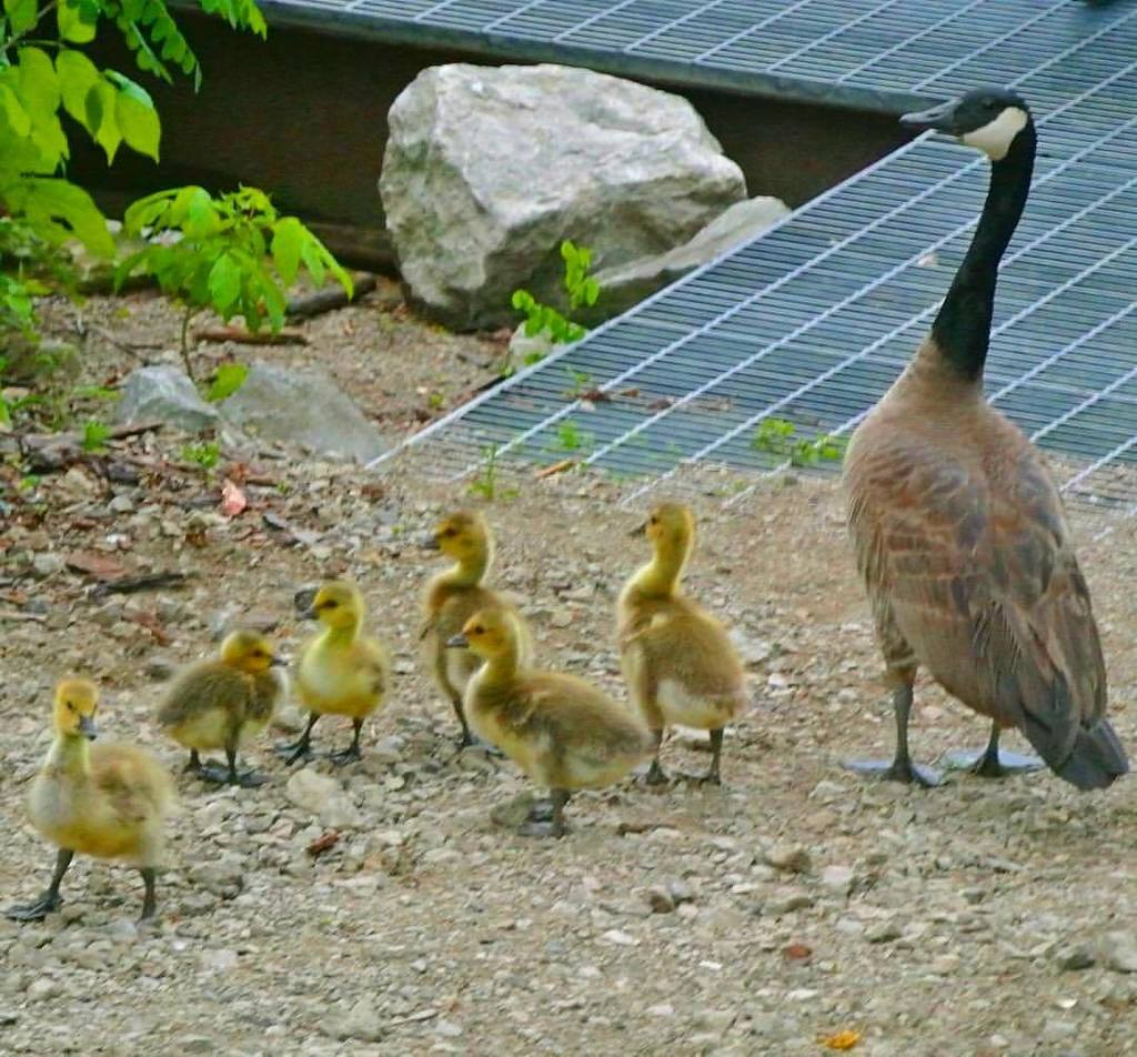 More babies!!  they don&#39;t mind me  #oldmanwithers #baby #birds #goose #duck #bird #wildlife #spring #asse…  http:// ift.tt/2r07JnI  &nbsp;  <br>http://pic.twitter.com/pIPMlS0h7U