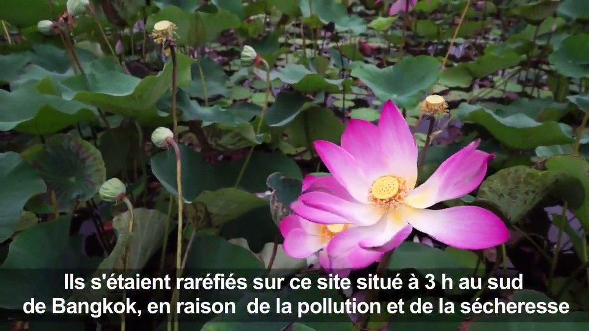En Thaïlande, retour miraculeux des lotus sacrés après des années de disparition pour cause de sécheresse #AFP