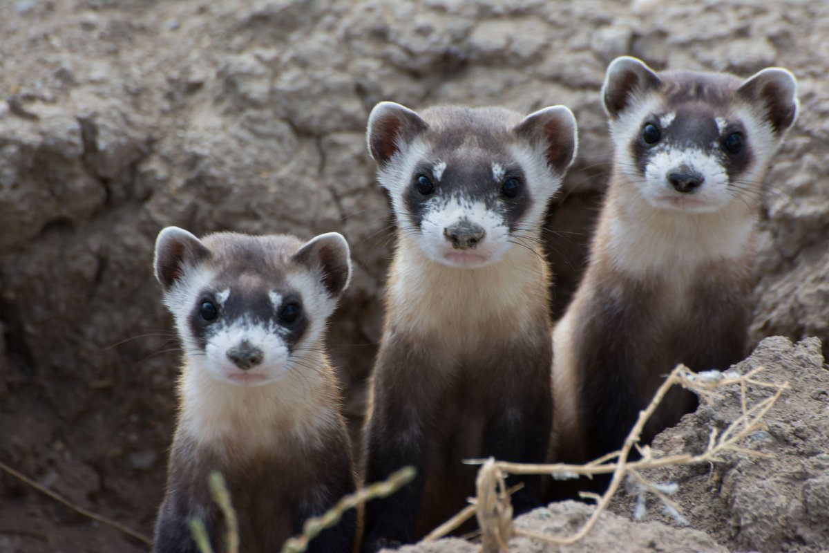 How the black-footed ferret returned to Wyoming: https://t.co/yo6JSAQR...