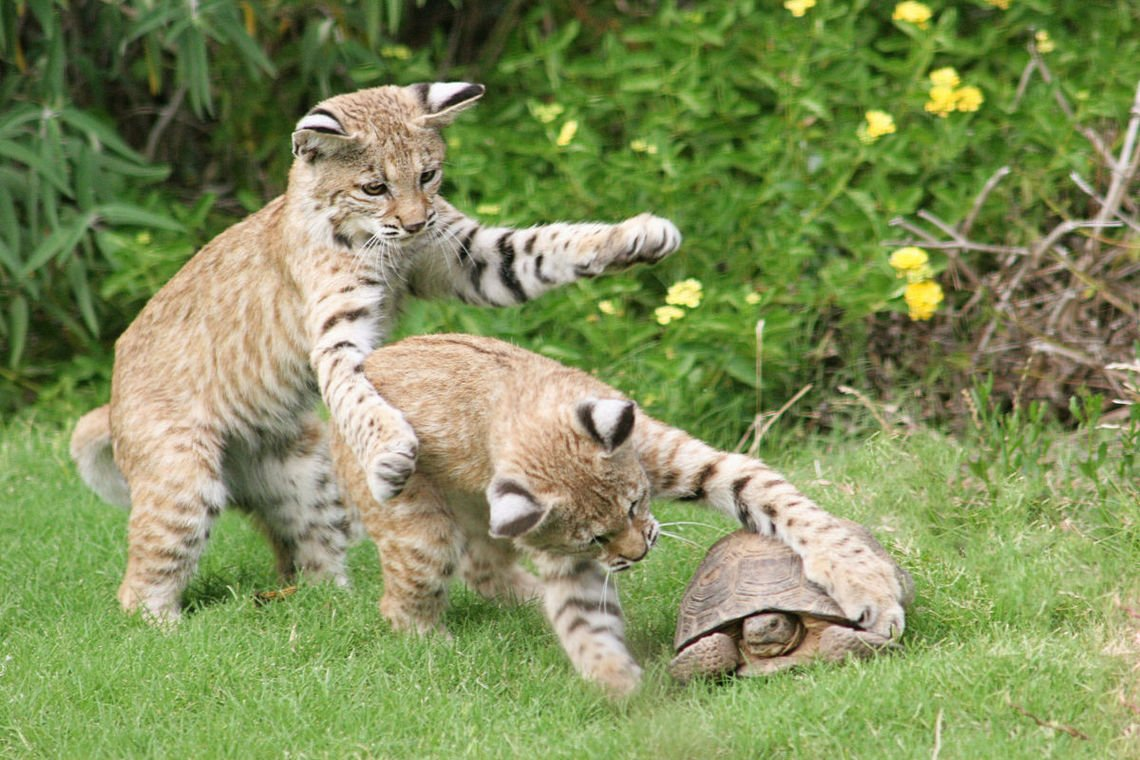 Backyard bobcats photos from readers https://t.co/6HgnvQr0ET