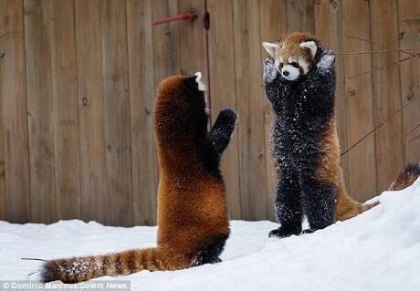 【レッサーパンダの威嚇】  レッサーパンダは相手を警戒して 威嚇する際に少しでも体を大きく見せるために手を広げたポーズを取ります。  ただし、可愛すぎて 威嚇と気づかれない事が多い。
