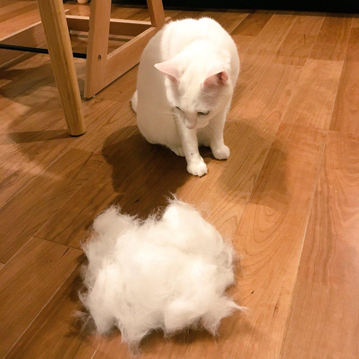 つい昨日まで羽毛布団の上で寝てたねこがフローリングでのびてたので暑いんだなと思ってファーミネーターでファーミネートしたらやばい量の毛がとれてねこもどん引きしてる。「えっ…わたしの毛…とれすぎ?」ひとまわり小さくなったね。 pic.twitter.com/XEmCOArLcO
