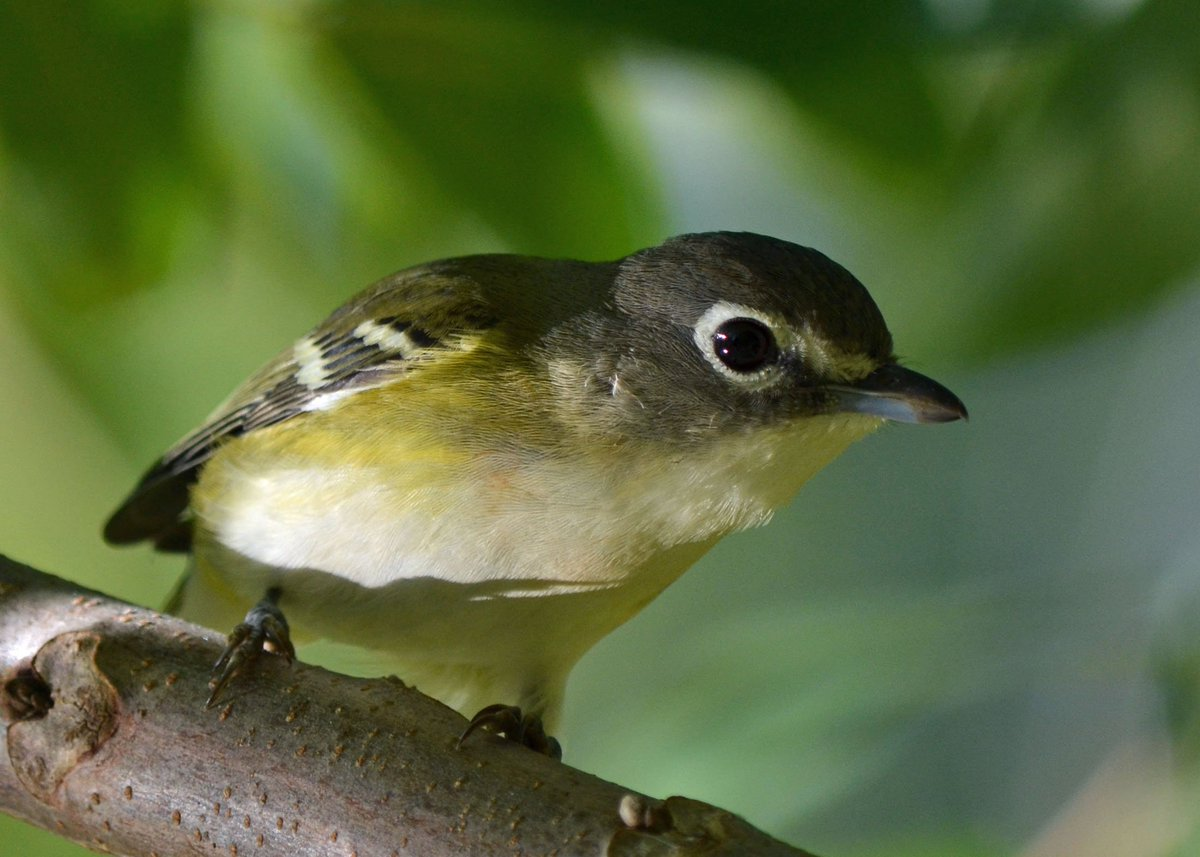 In this weekend&#39;s #LFP birding column, enjoying our beautiful vireos.  http://www. lfpress.com/2017/05/17/the -world-outdoors-vireos-present-identification-challenge &nbsp; …  (Thx for having shared link @HydeParkFeeds)<br>http://pic.twitter.com/KsMpjDwA58
