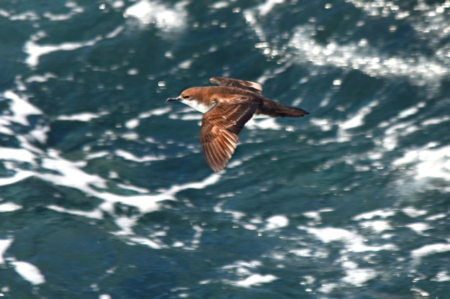 Dashing #Galapagos #shearwater zipping past the cliffs at #SouthPlaza island in the #GalapagosIslands, #Ecuador on our trip last December <br>http://pic.twitter.com/2cUYHy2hne