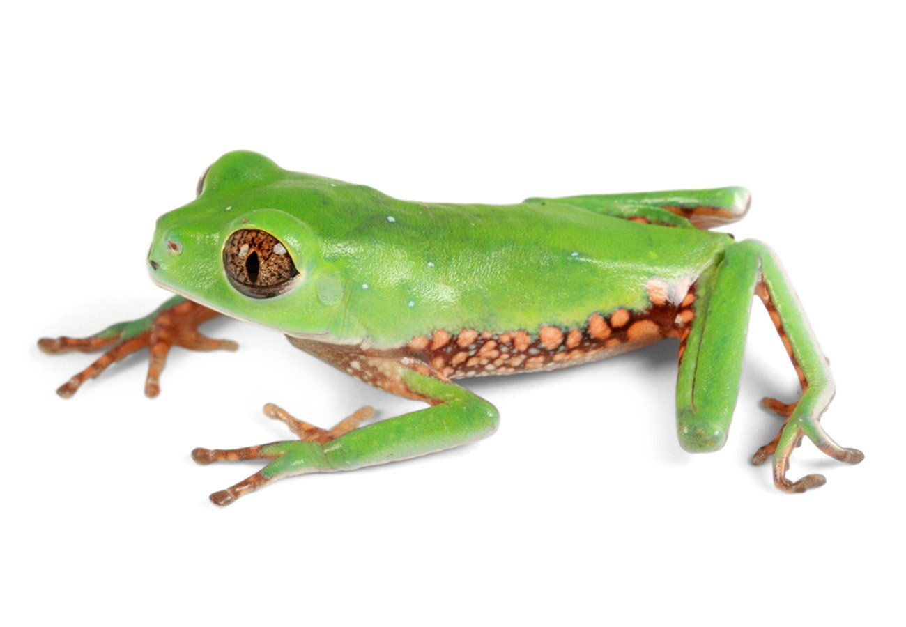 A cryptic species of monkey frog from Amazonian rainforests of northern Peru