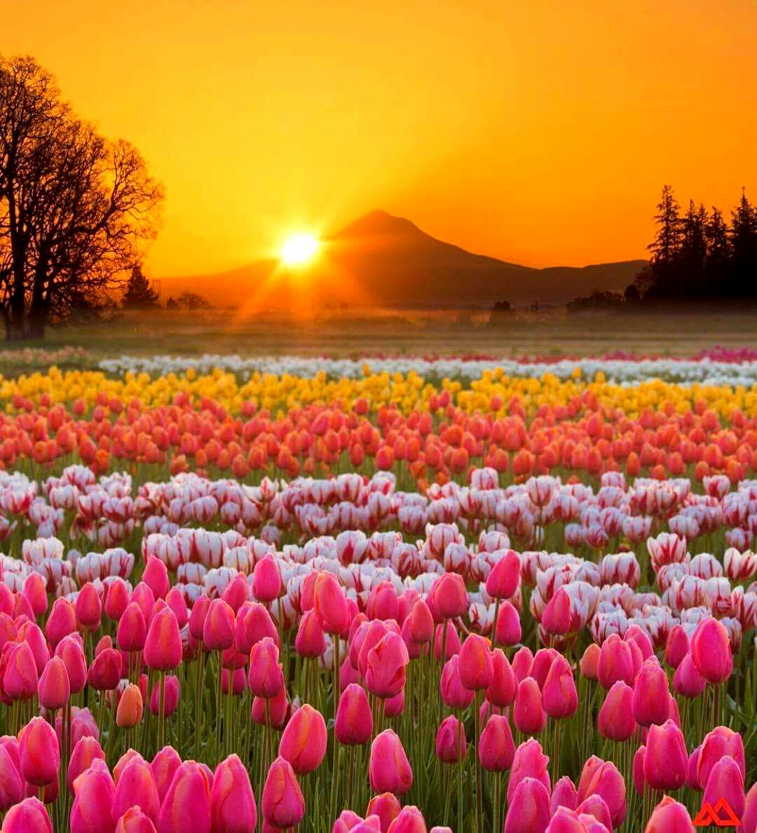 A beautiful evening Wooden Shoe Tulip Farm-Oregon Photo By Benbabusis #amazing #view<br>http://pic.twitter.com/svhysuBNta