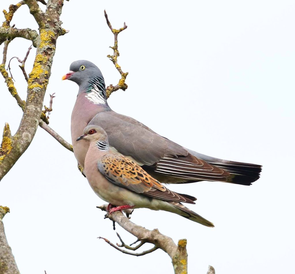 This pic by @acorncarver @RSPBNorfolkLinc #TitchwellMarsh shows size difference between turtle dove & woodpigeon!