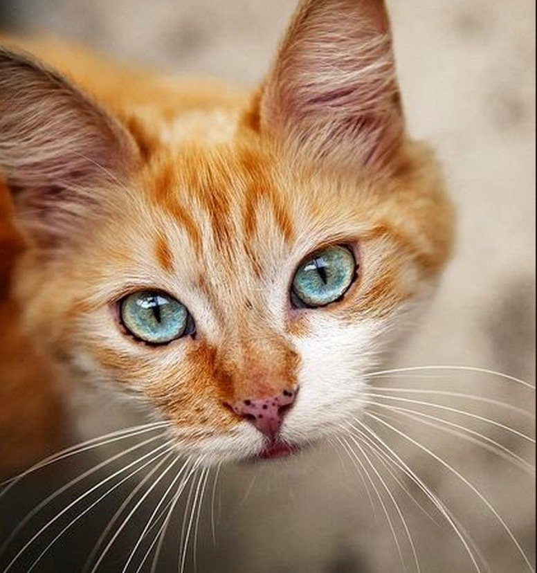Love the colouring on this beautiful #kitty