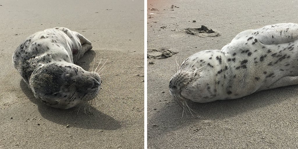It's pupping season on the WA coast! Please stay at least 100 yds from #harborseal pups.  https://t.co/wbzhgYLKM9 https://t.co/QWLd7hVcGJ