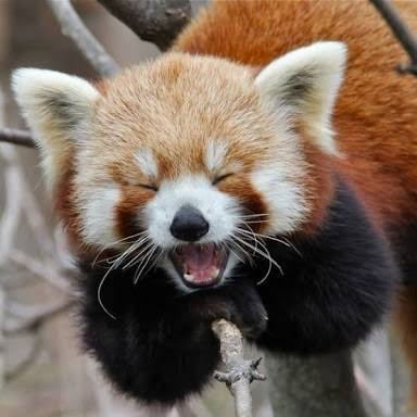 日本平動物園には何匹かレッサーパンダがいるんですが一匹だけ隔離されてるヤツがいるんですよ。そいつ「日本平動物園の脱走女王」の異名を持つスミレってヤツで過去に3回脱走してる超絶トラブルメーカーなんですよ。レッサーパンダかわいいよね。 pic.twitter.com/w9IZjntfUB
