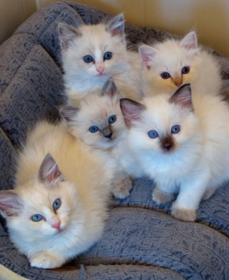 Delightful Ragdoll kittens... [For more great cat pics: