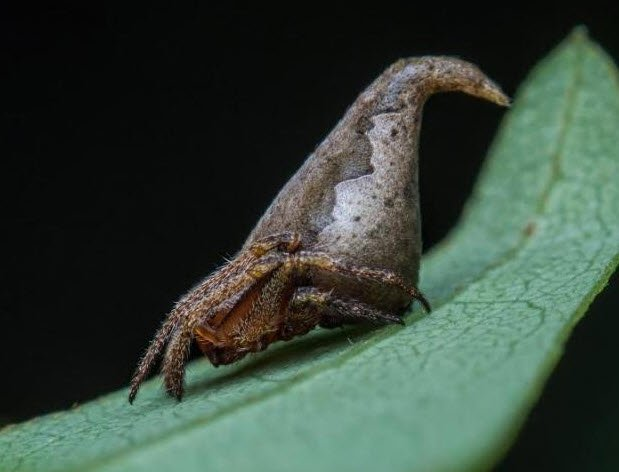 The Sorting Hat Spider makes list of the Top 10 New Species for 2017 https://t.co/TyOT0Y0zRc https://t.co/QYjrTGD64w