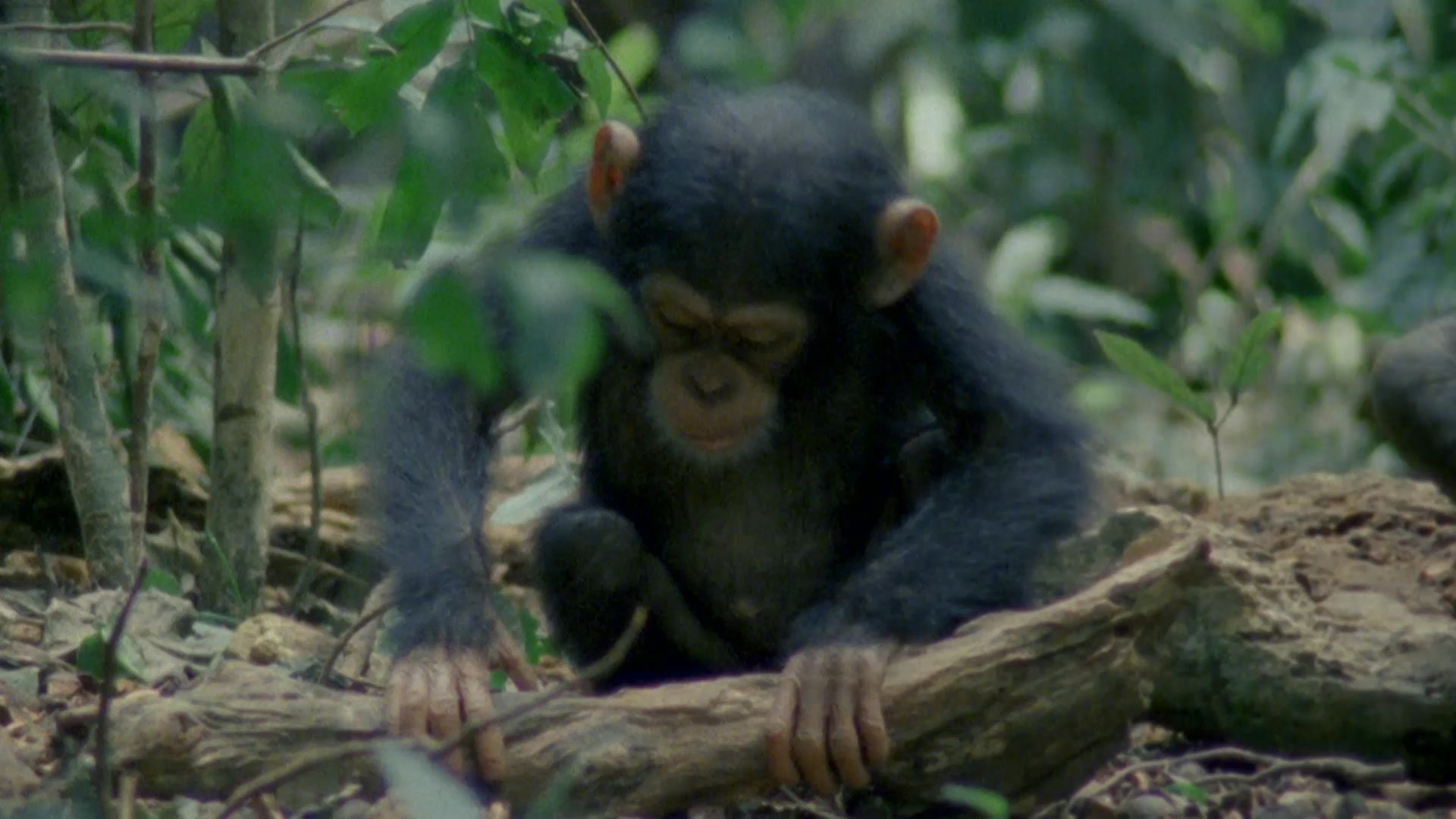 RT @natgeowild: These young chimps learn how to make tools to get their food! https://t.co/5q86oVF9eg