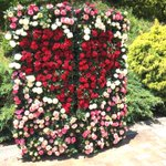今日は岐阜県花フェスタ記念公園にお邪魔しています。 暑いです💦 #園芸 #ガーデニング #ハイポネックスバラ部