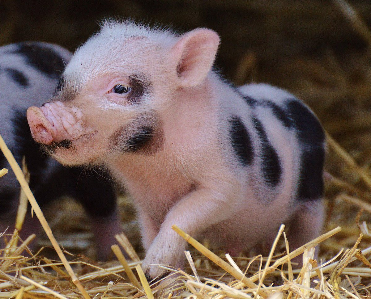 Pigs get to live out their lives with their loved ones when you eat #v...