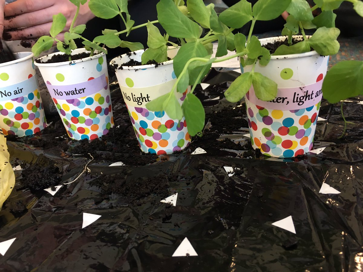 We are doing a plant experiment- which plant will survive the best? #classroomtwitter #juniorscientists #science<br>http://pic.twitter.com/JDw7kzLnpT