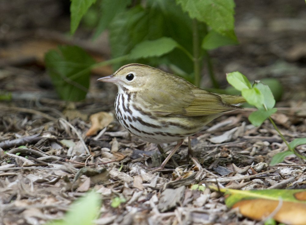 Ovenbird, #Brooklyn Bridge Park, Pier 1. Also spotted there today: Canada, Yellow, Magnolia, Blackpoll Warbler. #nyc #birding<br>http://pic.twitter.com/u5hcwBM2DC