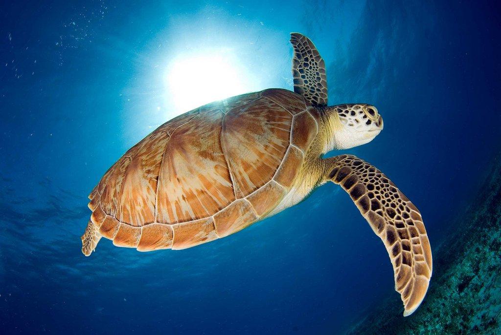 морская черепаха картинки на рабочий приворот