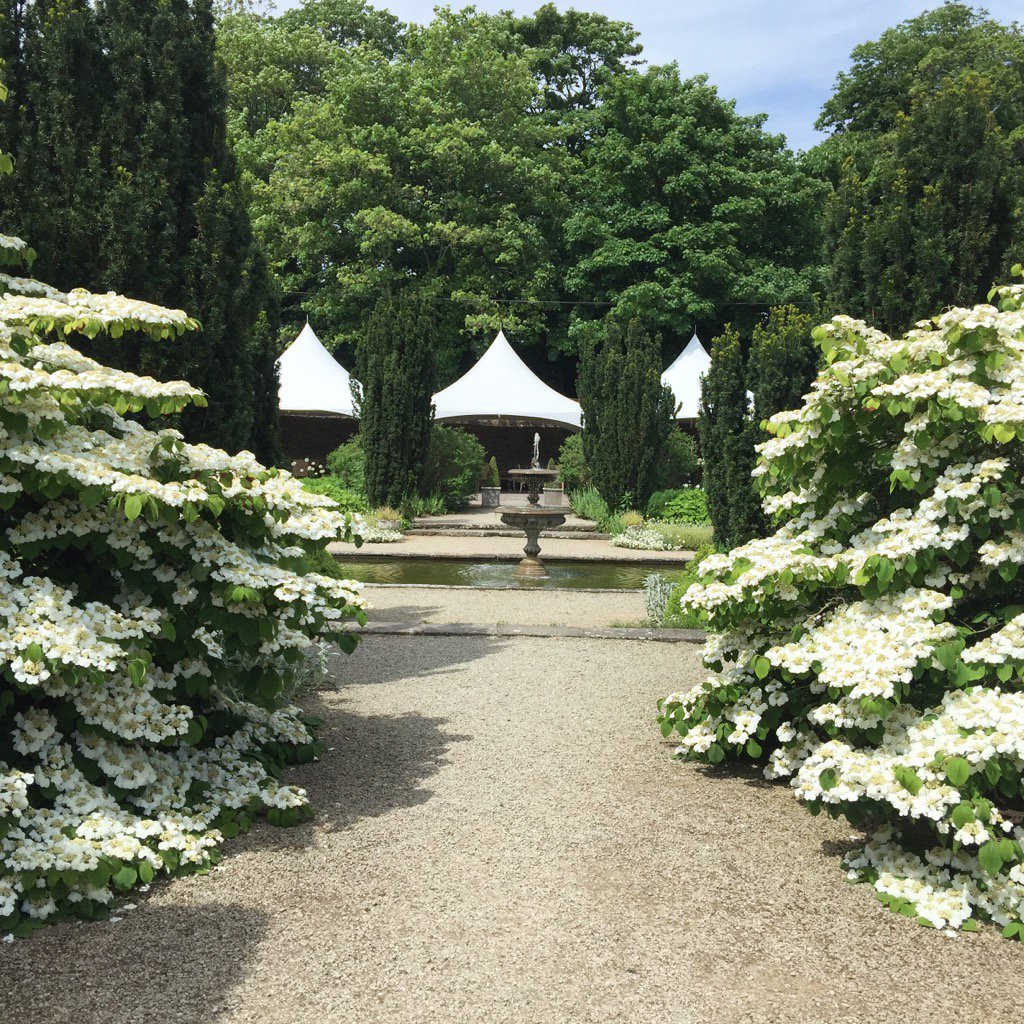 Aptly named #wedding #cake #trees #viburnum #plicatum frame our #white #garden - perfect location for drinks/canapés