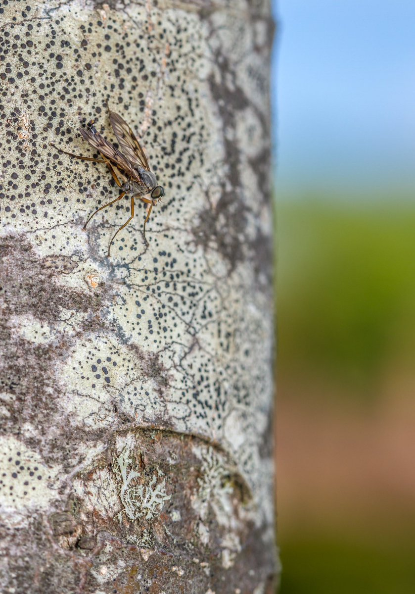 RT @markhortonphoto The perfectly named Downlooker Snipefly (Rhagio scopaceus) on a tree trunk in the @LoseleyPark #WalledGarden https://t.co/l09YF4O75Z @OPOTY