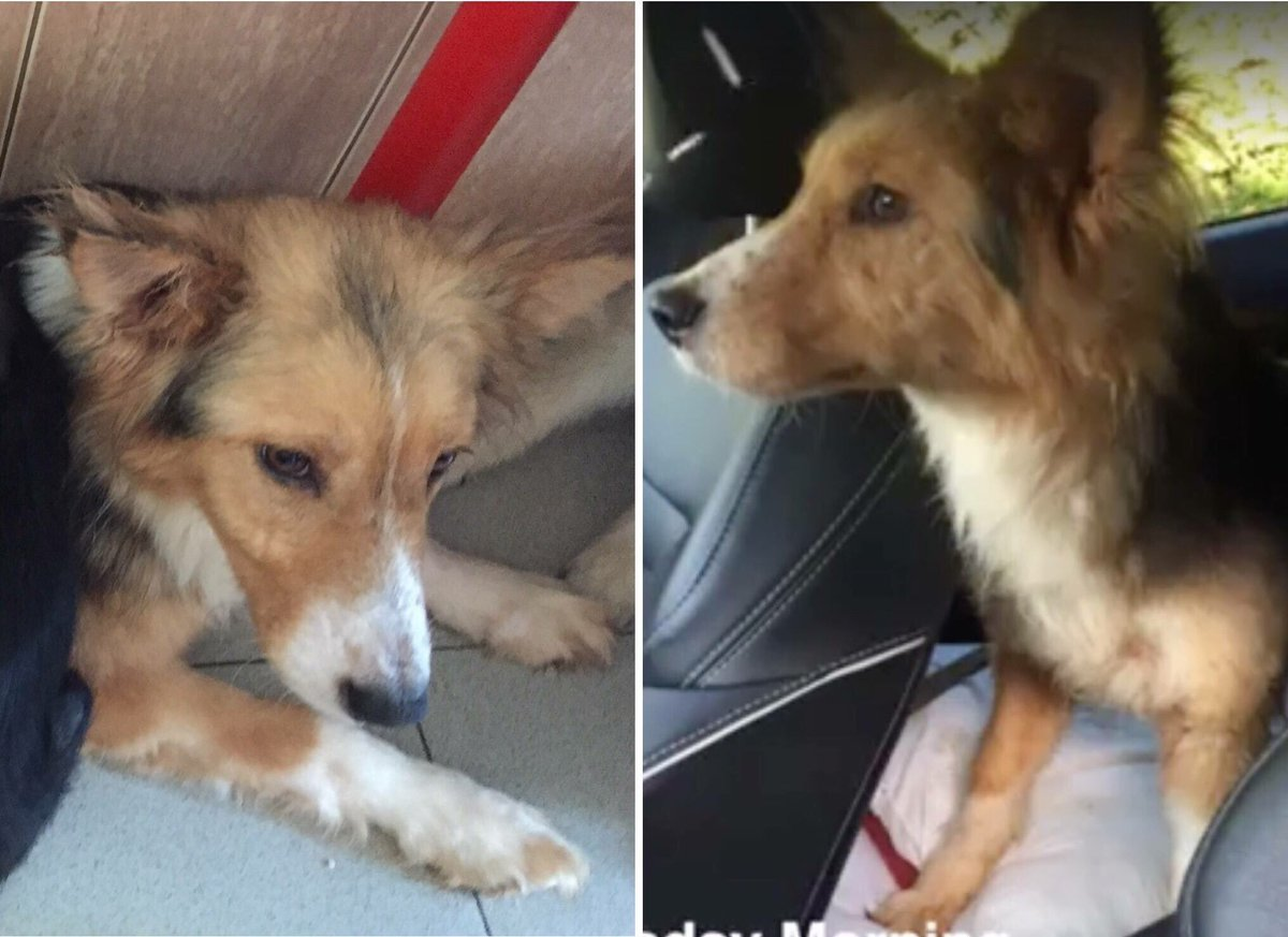 Sonya Update  look at the difference. Left dejected in #Bosnia,A few days later on her way to The Barn Animal Rescue NI   #HAPPY #ALERT  <br>http://pic.twitter.com/QX4H1i8uhw