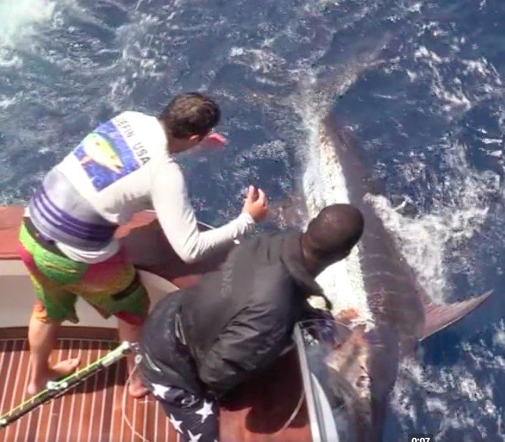 Cape Verdes - Gladius released an 850 lbs. Blue Marlin.
