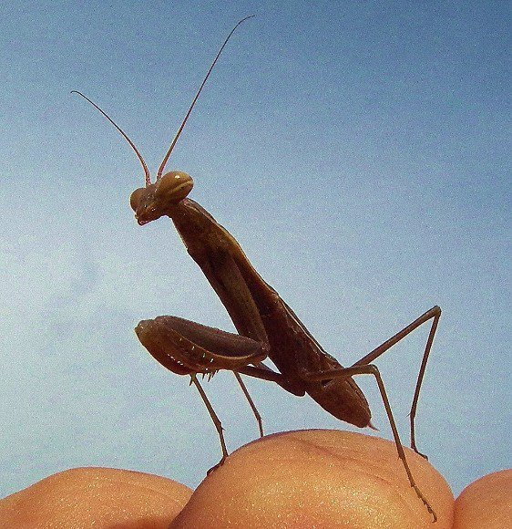 &#39;Praying Mantis&#39; Insects, Arachnids, Reptiles &amp; Amphibians  http:// eyesshare.co.uk/ProjectRetail/ Default/Translator.php?page=Main.html&amp;subpage=/WebRetail/Pages/Shop/CreatorProducts.html&amp;creator=5&amp;product=595&amp;app=eyes &nbsp; …  #art #shutter <br>http://pic.twitter.com/sYuvl4sdDF
