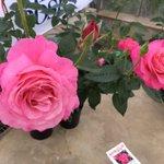 今日は京成バラ園芸さんの ローズトライアルに伺ってきました。  2017年発表の恋結び(こいむすび)です。 温かいピンクの丸弁高芯咲きの大輪花に目を奪われます。 フルティーな芳香も素敵です。 #バラ #ガーデニング #園芸 #ハイポネックスバラ部