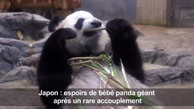Au Japon, espoirs d'un bébé panda géant après un rare accouplement #AFP