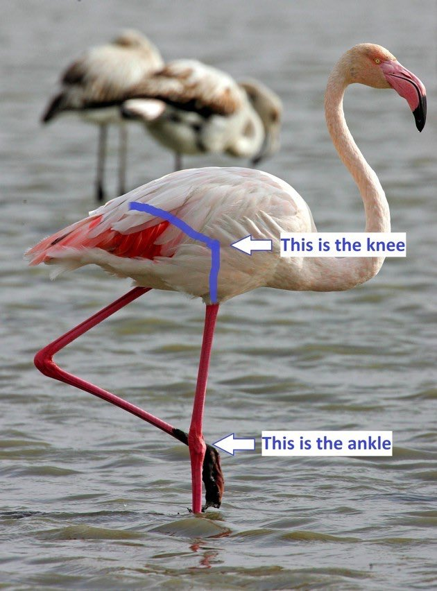 This is your regular reminder that bird knees are not where most people think they are https://t.co/2jqky4MJvN