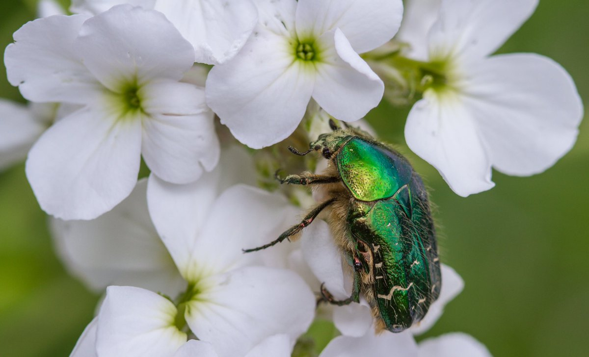 RT @markhortonphoto Another shiny green beetle, in the White Garden this time @LoseleyPark The beautiful Rose Chafer (Cetonia Aurata) https://t.co/Kwa1C3F0CX