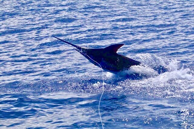 Kona, HI - Capt. Al Gustavson on Topshape released a Blue Marlin.