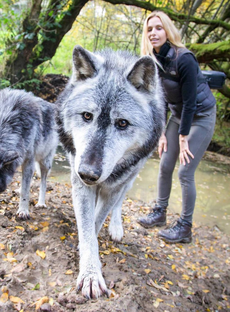 Its with the HEAVIEST of HEARTS that I announce the death of one of the worlds oldest wolves #kgosi - The star of the @toriamos video #rip <br>http://pic.twitter.com/ebvXw9GAA8