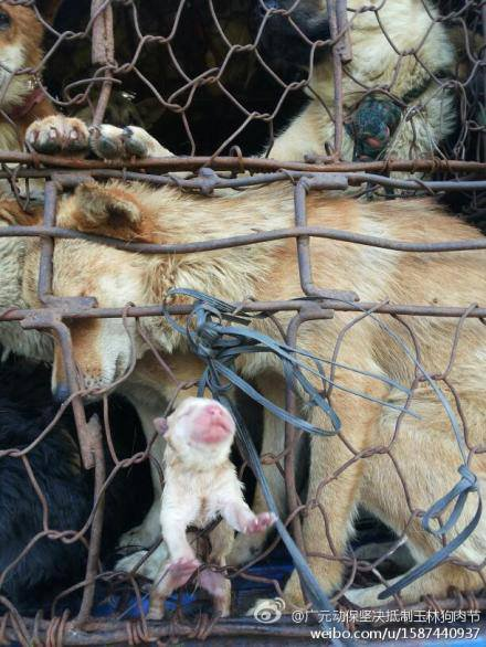 #chinas #yulin #dog #eating #festival.  Even new born #puppies are cooked #alive. Many pregnant dogs give birth &amp; they have the same #fate.<br>http://pic.twitter.com/kyP7EIYWgJ