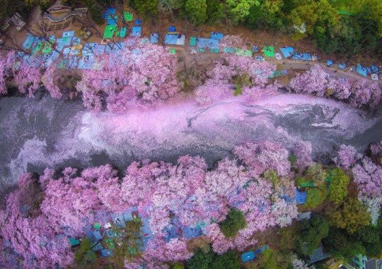 Aerial view of fallen cherry blossom petals filling a lake in Japan 🌸 https://t.co/oPOscMvbJF