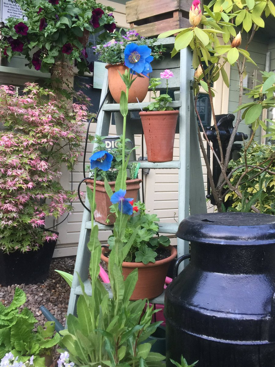 Awww My Meconopsis has finally flowered!#ChelseaFlowerShow2017 #VERY HAPPY! <br>http://pic.twitter.com/z7vKB00w1g