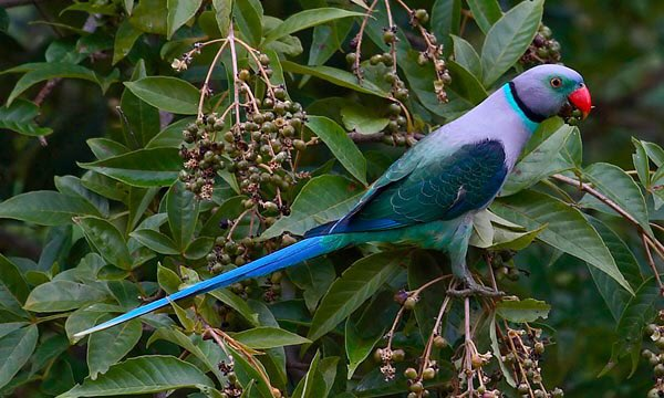 #ParrotOTD 25 May: Malabar parakeet (Psittacula columboides), India. Pic by Siva Kumaar via @orientbirdclub