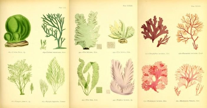 How seaweed became Victorian women's entryway into science –gorgeous scientific drawings by Margaret Gatty https://t.co/QNVNy3TLoJ