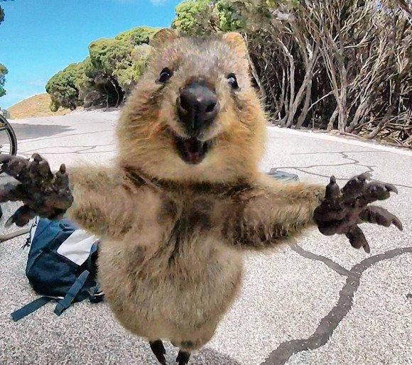 ちなみにクァッカワラビーってどんな生き物かっていうと、ずっと笑顔に見える可愛すぎる生き物です。まじ癒し。