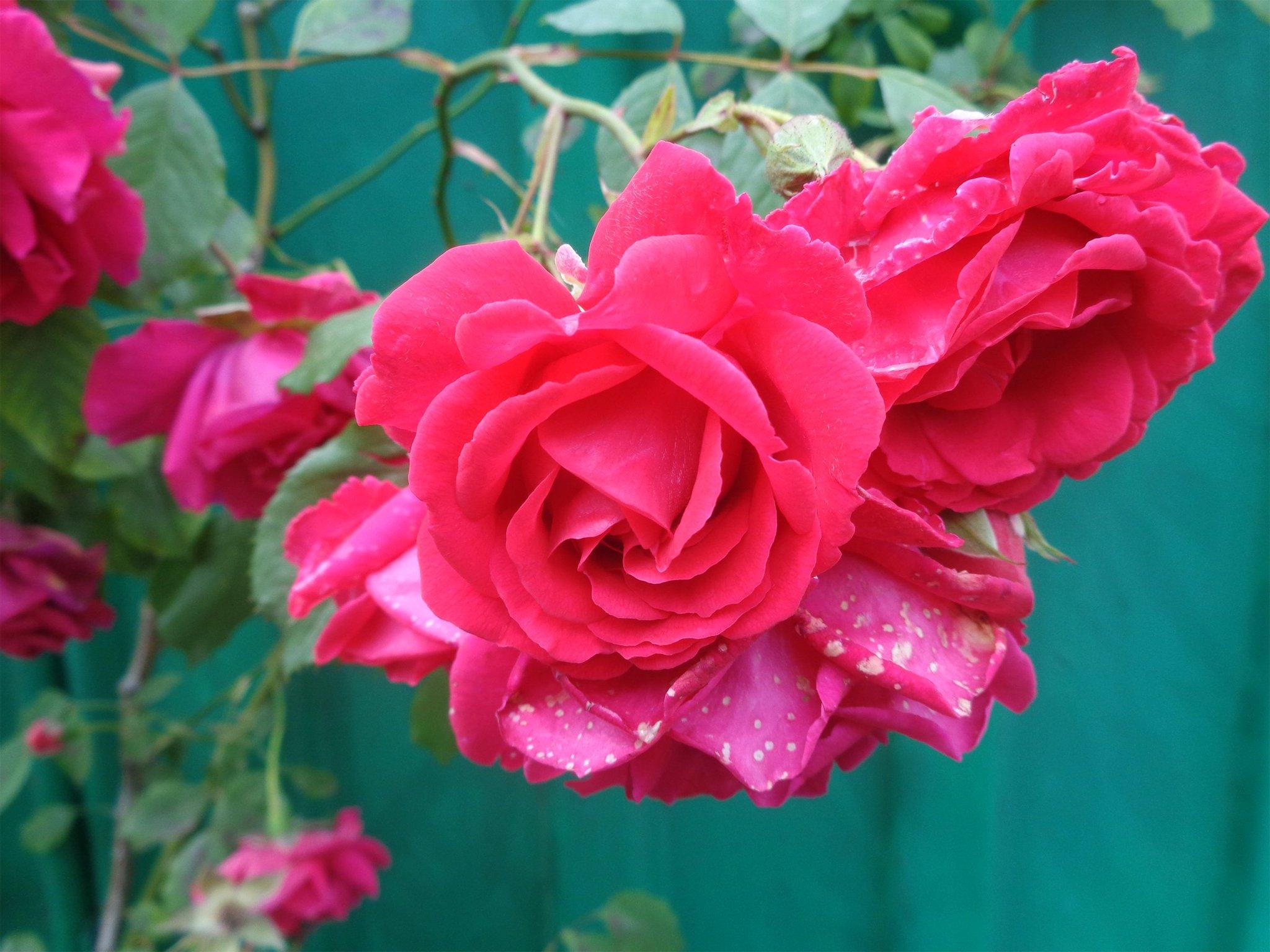 все роза майская картинки типов есть три
