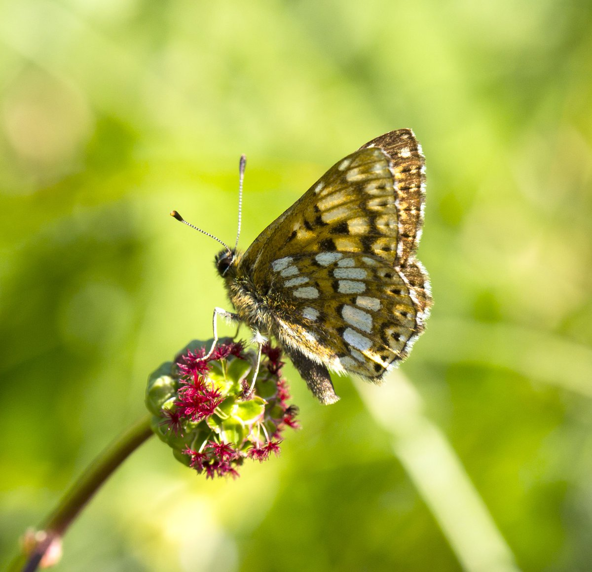 lovely day out near Dunstable,Beds-super views of Duke of Burgundy,Bro...
