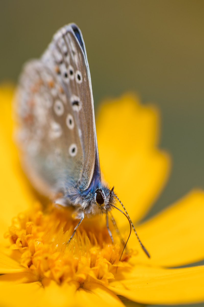 RT @markhortonphoto Another shot of a Common Blue in among the beautiful flowers in the Walled Garden @LoseleyPark @savebutterflies https://t.co/zx8KmGk4bl
