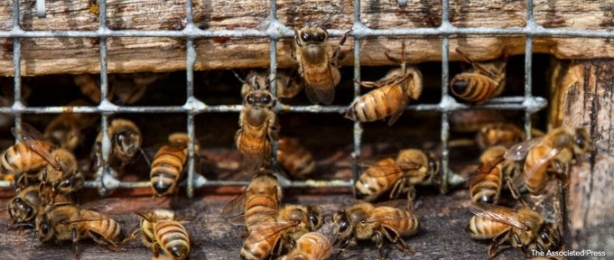 There's a glimmer of hope for America's honeybees as winter losses were lowest in a decade with 21% of colonies lost https://t.co/aJ8l1zi6tk